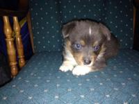 Really uncommon BLUE tri Pembroke Welsh Corgi new