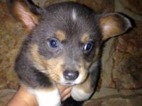 BEAUTIFUL, Blue, Corgi puppy! Quite unusual to discover