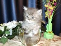 Beautiful, rare Blue Shaded Golden Persian male kitten
