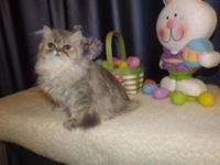 This kitten is an unusual Blue Shaded Golden Persian