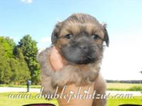 Beautiful RARE solid blue shih tzu poodle mix puppy.