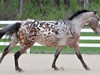 7yr old mare.15.3 hands.Registered with RPSI/KNN.