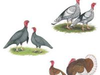 Special pricing on Rare Breed Turkeys -- only a few