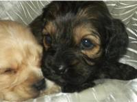 We have a very baby rare cockapoo puppy's that will be