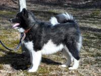 CKC Canadian Kennel Club Registered Male-NOT