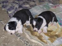 2 black and white Cardigan Corgis available. had