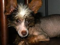 I have for sale a very rare Chocolate Chinese Crested