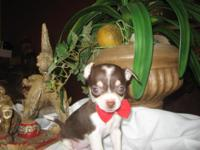 One female t-cup Apple head chihuahua puppy with rare