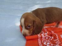 rare chocolate beagles AKC or CKC reg. gorgeous puppies