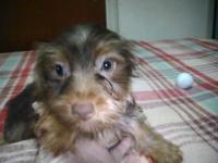 Very rare chocolate and tan yorkshire terrier solid