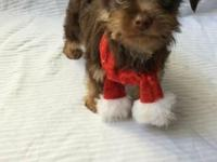 Yorkie (Yorkshire Terrier) Male Puppy. Gorgeous Rare