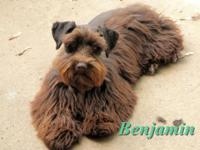 Benjamin is a young adult (3yo) mini schnauzer that