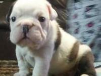 Beautiful rare colors English Bulldog puppies AKC