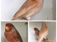 I have beautiful mosaic canaries in pastel agate