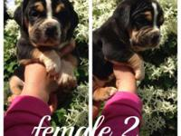 I.O.E.B.A reg pups 5 females left will come with first