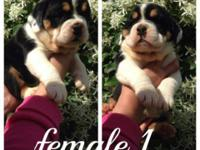 I.O.E.B.A reg pups 6 females 2 males will come with