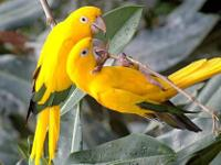 Gorgeous colorful Golden Conure for sale, also known as