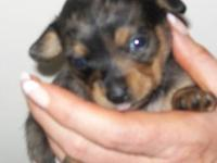 Tiny, silver dapple, blue eyed Chiweenies For Sale!