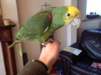 ! RARE double yellow headed amazon parrots for sale.