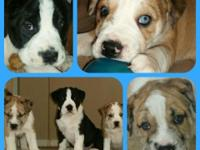 Rare, adorable and extremely loving English Bulldog
