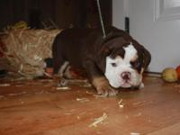 Two Male Dark chocolate tri English bulldog puppies.