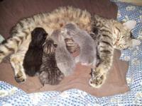 Polydactyl Desert Lynx cubs from Northwest Snowpolys,