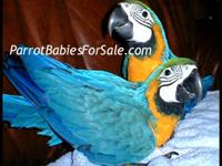 Rare Gentle Giant Verdi Macaw Hand-fed Babies for Sale.
