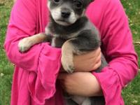 * Adorable and VERY RARE GRAY PomChi puppy for