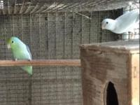 Selling very rare 2 pairs of Parrotlet. Both are very