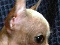 I have available 1 - Bi-Colored hairless Chihuahua. Her