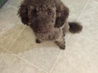 I have a brown purebred toy poodle for sale. He is