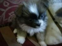 I have a female teacup rare lavander pomeranian born