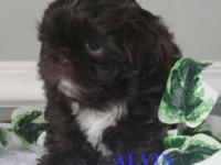 3 MALE SHIH TZU PUPPIES READY FOR THEIR FOREVER HOMES