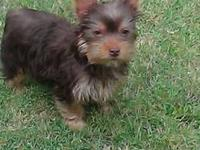 I HAVE A RARE SOLID CHOCOLATE YORKIE FOR SALE.HE IS