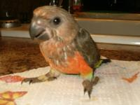 I have a maroon bellie conure male, I wouldn't mind
