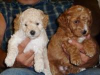 ALL SOLD.... ADORABLE, RARE MINIATURE GOLDENDOODLE