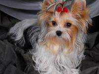 This is the most gorgeous yorkie you will ever see! She
