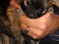 Really little beautiful Red Sable female party size,