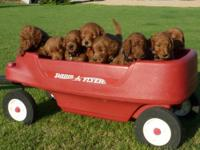 Goldendoodle Puppies- Rare reds, F1B. Will be 8 weeks