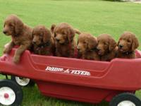 Red Goldendoodle puppies. Ruby had an amazing litter of