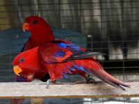 Pretty red lorikeets pARROTS , pair. Hermoso loro de