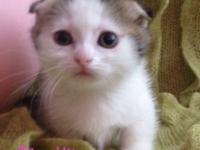 Very Rare Short Legs/Folded Ears Kittens! We also get