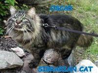 OSCAR is a Siberian Cat he is . HE MUST BE the only