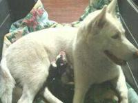 Hi , my female had 4 siberian husky puppies on Dec. 6th