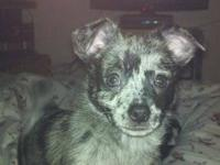Ten week old, silver mearle, male chihuahua Super sweet
