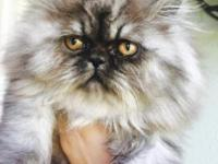 Super sweet and playful male smoky silver Persian