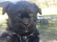 "RARE!!!! Gorgeous little ""monkey faced"" pups for sale"