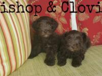 Our unusual Chocolate Schnoodles are a have to see!!!