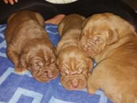 Rare Ultimate Mastiff Puppies. Neopolitian Mastiff and