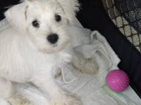 Miniature Schnauzers are one of the best breeds for